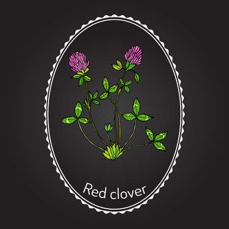 trifolium: Red Clover or Trifolium pratense, hand drawn botanical vector illustration