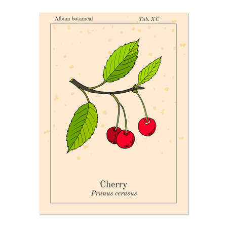 Sour cherry (or tart cherry, or dwarf cherry) branch with cherries and leaves. Hand drawn botanical vector illustration Illustration