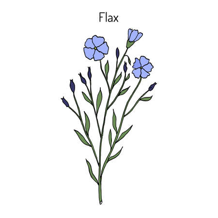 Flax plant with flowers. Hand drawn botanical vector illustration Illustration