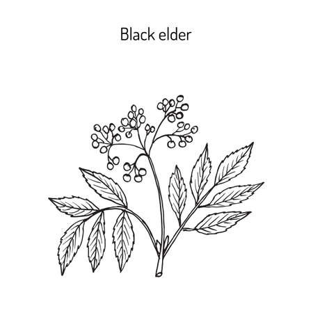 Black elder, elderberry, black elder, European elder, European elderberry or European black elderberry. Medicinal plant. Hand drawn botanical vector illustration