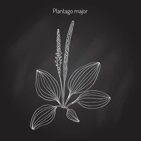 Great plantain. Plantago major - medicinal plant. Hand drawn botanical vector illustration