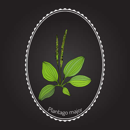 plantain herb: Great plantain. Plantago major - medicinal plant. Hand drawn botanical vector illustration