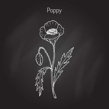 Opium Poppy or Papaver somniferum. Hand drawn botanical vector illustration