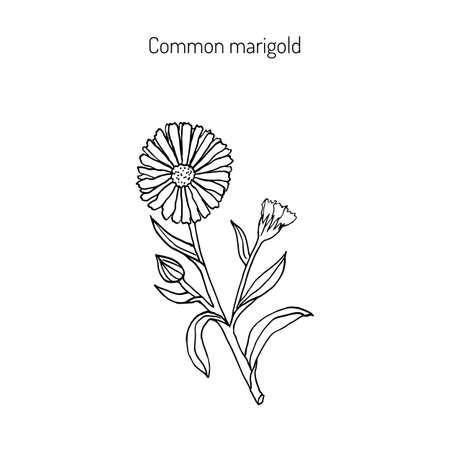 calendula: Medicinal plant Calendula officinalis (common marigold). Hand drawn botanical vector illustration