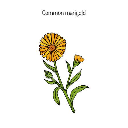 pot marigold: Medicinal plant Calendula officinalis (common marigold). Hand drawn botanical vector illustration