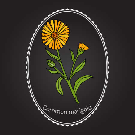 officinalis: Medicinal plant Calendula officinalis (common marigold). Hand drawn botanical vector illustration