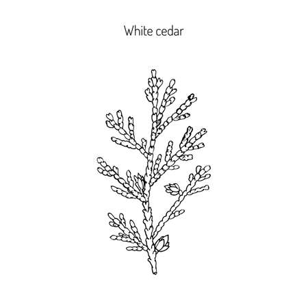 thuja occidentalis: White cedar, thuja occidentalis. Hand drawn botanical vector illustration