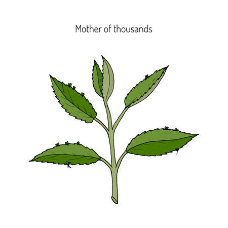 Bryophyllum daigremontianum, also called Mother of Thousands, Alligator Plant, or Mexican Hat Plant (Kalanchoe daigremontiana). Hand drawn botanical vector illustration Illustration