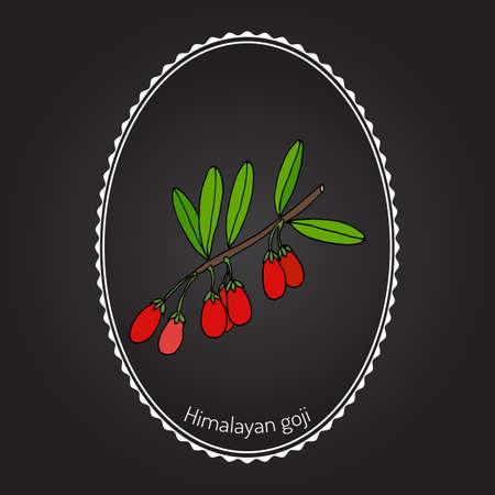 Goji berry (Lycium barbarum) or Chinese wolfberry, Chinese boxthorn, Himalayan goji, Tibetan goji, mede berry, barbary matrimony vine, Duke of Argylls tea tree, Murali, matrimony vine. Vector