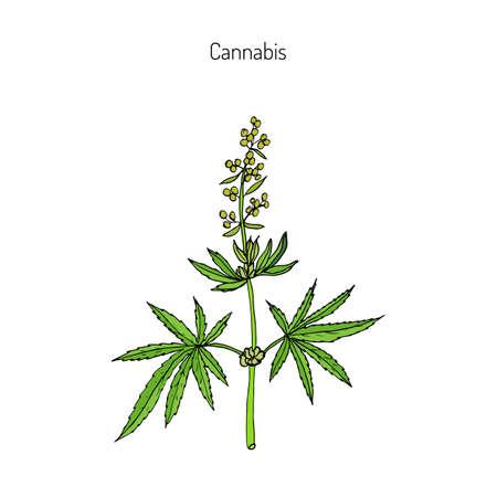 麻、大麻、大麻インディカ、大麻ルデラリス、または大麻、薬用植物。手描き植物のベクトル図