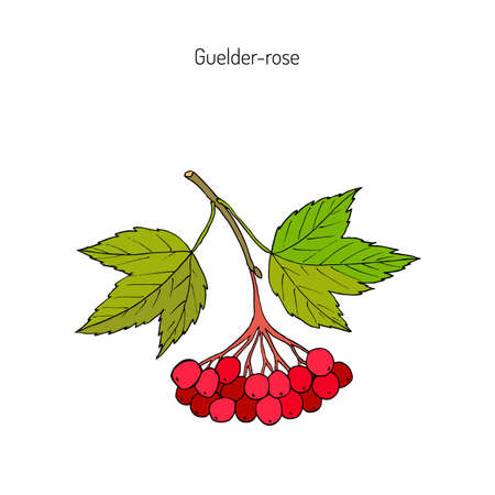 Viburnum opulus or Guelder rose. Hand drawn botanical vector illustration