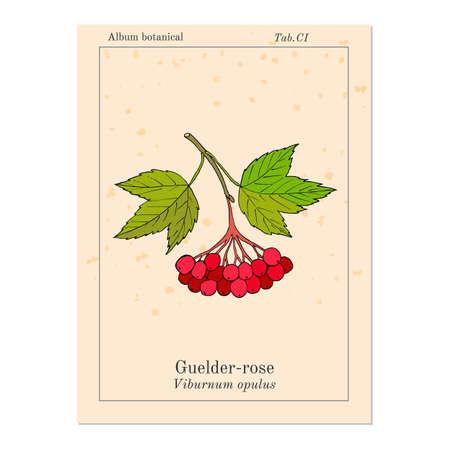 guelder rose: Viburnum opulus or Guelder rose. Hand drawn botanical vector illustration