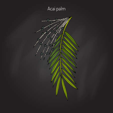 dietary: Acai palm (Euterpe oleracea). Superfood. Hand drawn botanical vector illustration Illustration