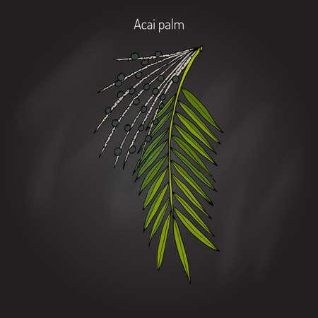 eco energy: Acai palm (Euterpe oleracea). Superfood. Hand drawn botanical vector illustration Illustration