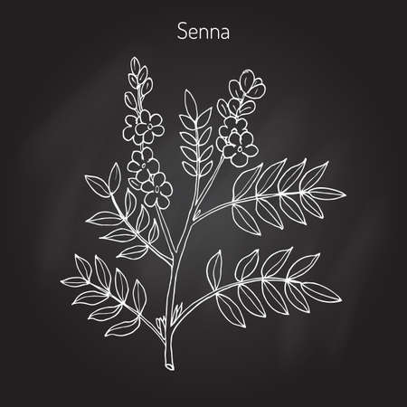 Alexandrian senna (senna alexandrina), or Egyptian senna, Tinnevelly senna, East Indian senna - medicinal plant. Hand drawn botanical illustration  イラスト・ベクター素材