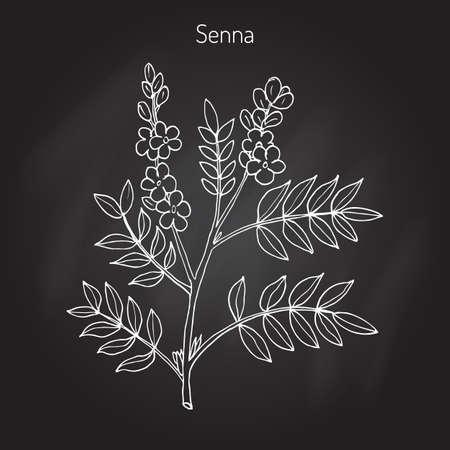 Alexandrian senna (senna alexandrina), or Egyptian senna, Tinnevelly senna, East Indian senna - medicinal plant. Hand drawn botanical illustration Vettoriali