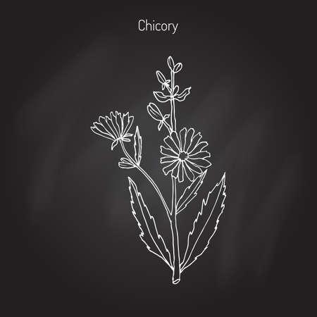 Chicory (Cichorium Intybus). Hand drawn botanical illustration Ilustracja