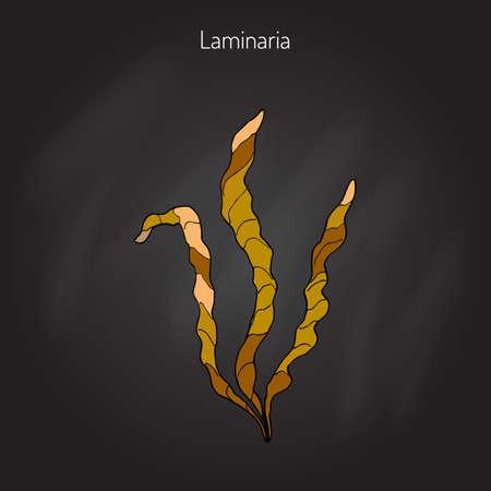 iodine: Saccharina latissima, or kelp, laminaria, sea belt, Devils apron. Hand drawn illustration Illustration