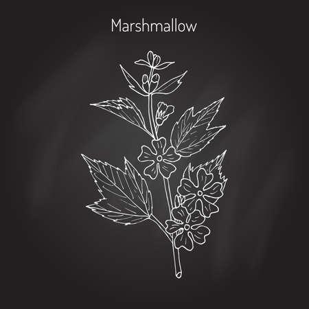 officinalis: Althaea officinalis, or common marshmallow - medicinal herb. Hand drawn botanical  illustration