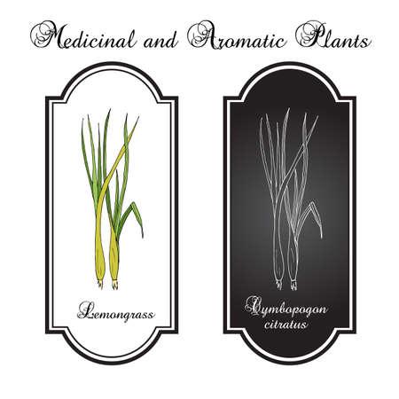 Citronnelle (cymbopogon), herbe au citron, herbe à barbes, têtes soyeuses, graminées de citronnelle. Herbe culinaire et médicinale. Illustration botanique dessinée à la main