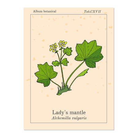 Alchemilla vulgaris, common ladys mantle. Medicinal herb. Hand drawn botanical illustration