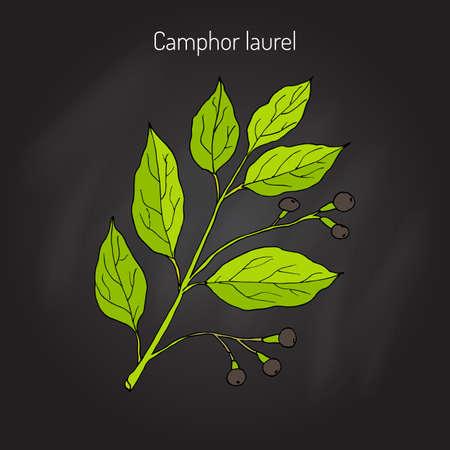 Camphor tree (Cinnamomum Camphora), medicinal plant. Hand drawn botanical illustration Illustration