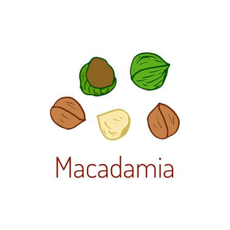 Macadamia nuts. Hand drawn illustration.