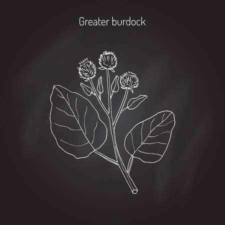 beggar's: Burdock, Arctium lappa, commonly called greater burdock, gobo, edible burdock, lappa, beggars buttons, thorny burr, or happy major. Hand drawn botanical illustration