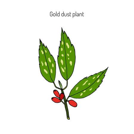 Japanese laurel (aucuba japonica), or spotted laurel, Japanese aucuba, gold dust plant. Hand drawn botanical illustration