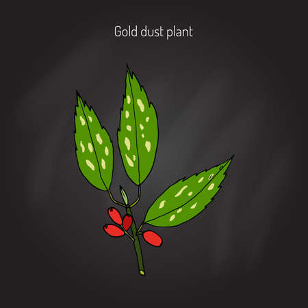 Japanese laurel (aucuba japonica), or spotted laurel, Japanese aucuba, gold dust plant. Hand drawn botanical illustration