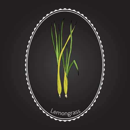 Lemongrass (cymbopogon), or  lemon grass, barbed wire grass, silky heads, citronella grass. Culinary and medicinal herb. Hand drawn botanical illustration