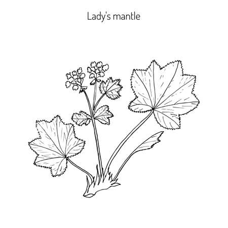 ladys mantle: Alchemilla vulgaris, common ladys mantle. Medicinal herb. Hand drawn botanical illustration