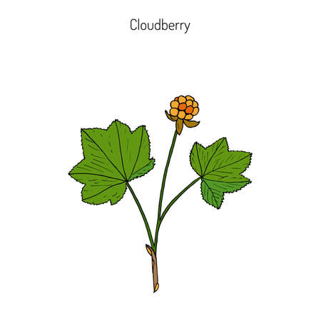 chicouté: Cloudberry (rubus chamaemorus), or bakeapple, knotberry, knoutberry, aqpik, low-bush salmonberry, averin, evron .  Hand drawn botanical illustration. Wild berries collection