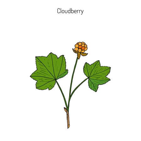 Cloudberry (rubus chamaemorus), or bakeapple, knotberry, knoutberry, aqpik, low-bush salmonberry, averin, evron .  Hand drawn botanical illustration. Wild berries collection
