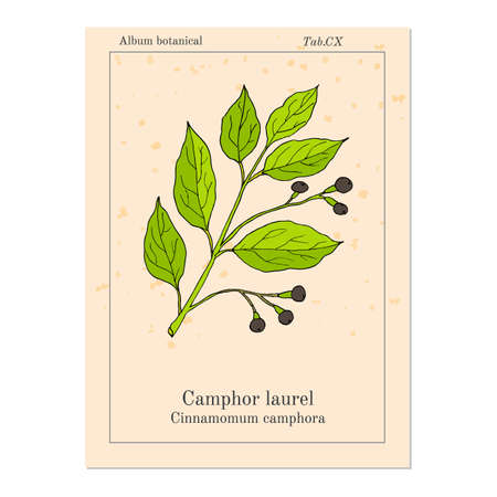 antidote: Camphor tree (Cinnamomum Camphora), medicinal plant. Hand drawn botanical illustration Illustration