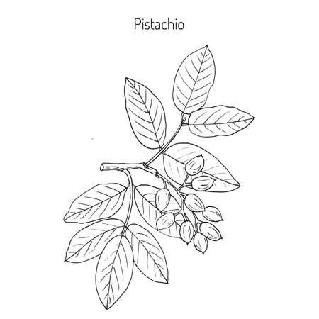 ピスタチオ (ピスタキア属 vera)。手描き植物のベクトル図