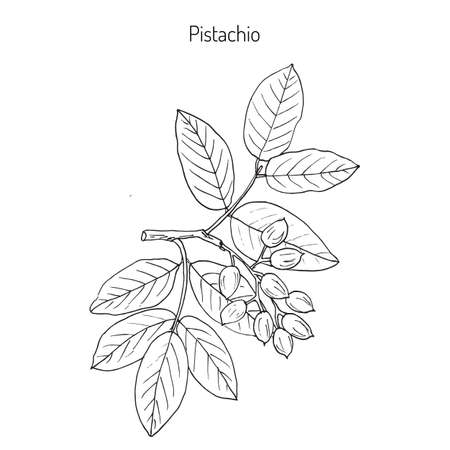 Pistachio (Pistacia vera). Hand drawn botanical vector illustration Imagens - 73217299