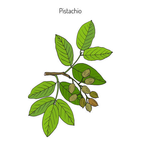 Pistachio (Pistacia vera). Hand drawn botanical vector illustration