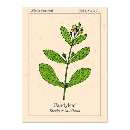 herbaceous: Stevia rebaudiana known as candyleaf, sweet leaf, or sugarleaf. Hand drawn botanical vector illustration.