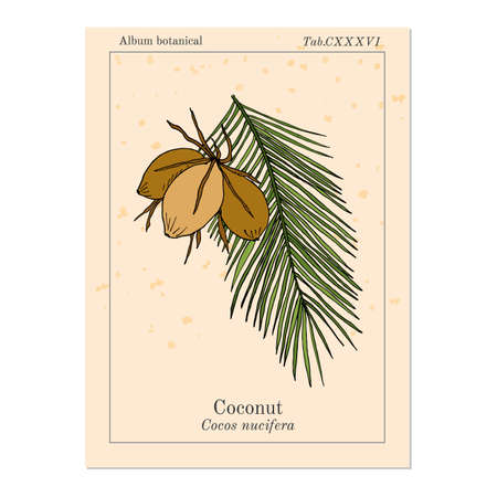 palm oil: Coconut (Cocos nucifera). Hand drawn botanical vector illustration Illustration