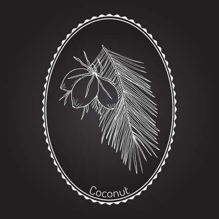 Coconut (Cocos nucifera). Hand drawn botanical vector illustration Illustration