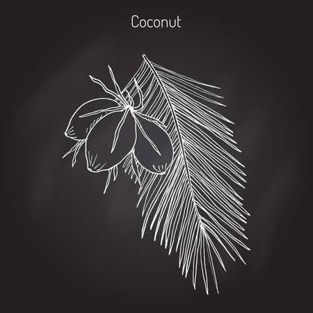 Coconut (Cocos nucifera). Hand drawn botanical vector illustration Illustration