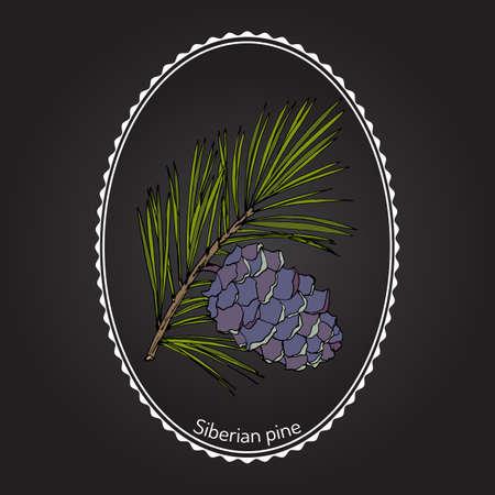Pinus sibirica, o pino siberiano, rama con cono. Dibujado a mano ilustración vectorial botánico Foto de archivo - 73217892