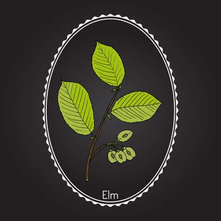 Field Elm (Ulmus minor). Hand drawn botanical vector illustration