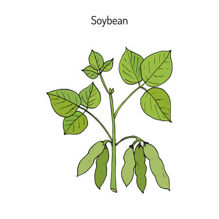 Soybean, or soya bean (Glycine max). Hand drawn botanical vector illustration