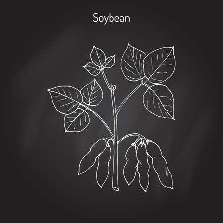 Soybean, or soya bean (Glycine max). Hand drawn botanical vector illustration