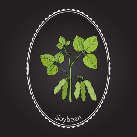 soy bean: Soybean, or soya bean (Glycine max). Hand drawn botanical vector illustration
