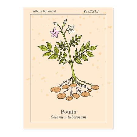 Potato plant (Solanum tuberosum). Hand drawn botanical vector illustration