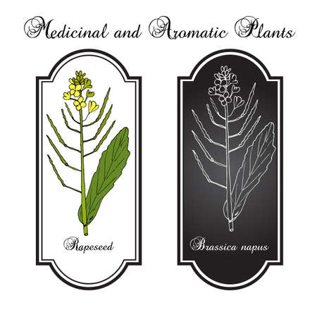 brassica: Rapeseed (Brassica napus),or rape, oilseed rape, rapa, rappi, rapaseed. Hand drawn botanical vector illustration Illustration