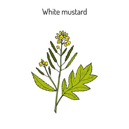 White mustard (Sinapis alba). Kitchen hand-drawn herbs and spices. Botanical vector illustration